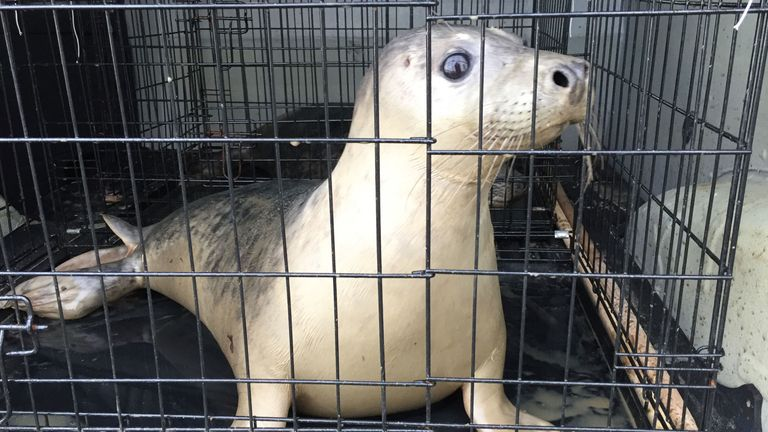 Seal pup Bran was found dangerously underweight months before