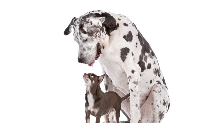 Great Dane and a chihuahua
