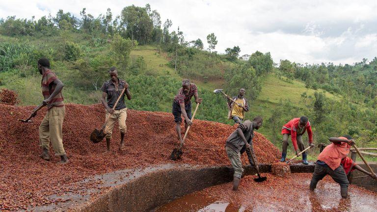 Coffee farmers pile beans in Ethiopia