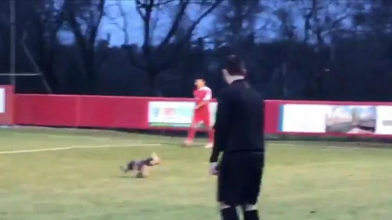 Yorkshire Terrier invades pitch at football match in Kent