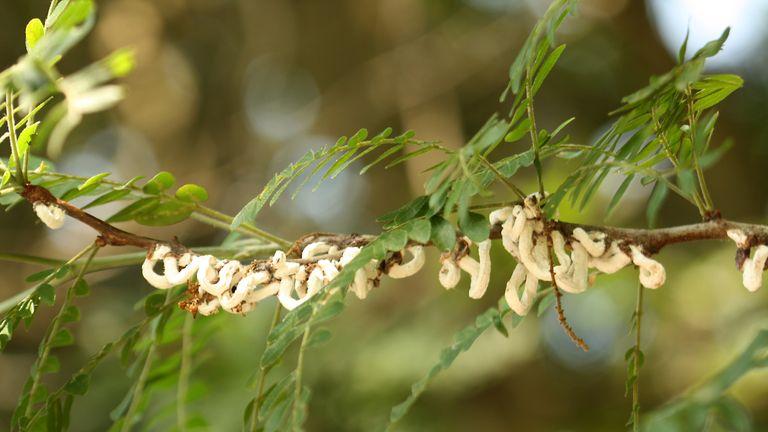Cotton stringy scale (Takahashia japonica)