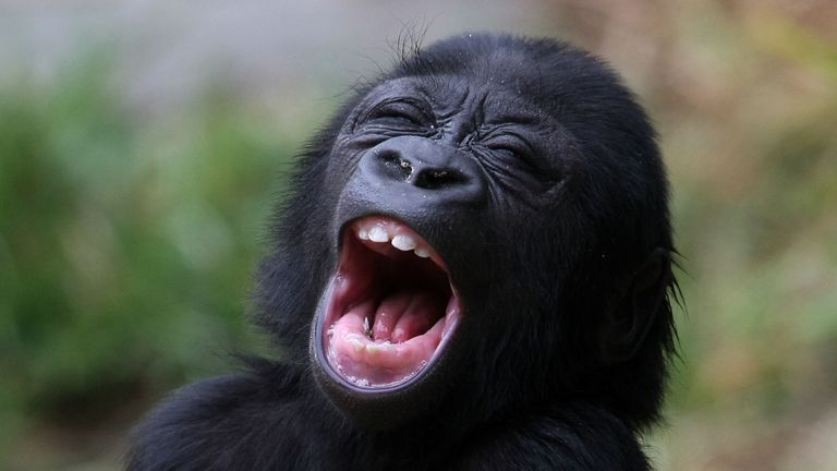 SAN FRANCISCO - JUNE 05: Hasani, a six month-old Western Lowland Gorilla, yawns as he plays in the gorilla exhibit during his first public viewing at the San Francisco Zoo June 5, 2009 in San Francisco, California. Hasani, who was born on December 8, 2008, has been hand-raised by zoo staff after being rejected by his mother at birth. A surrogate gorilla mother was trained to care for Hasani and has accepted the newborn. (Photo by Justin Sullivan/Getty Images)