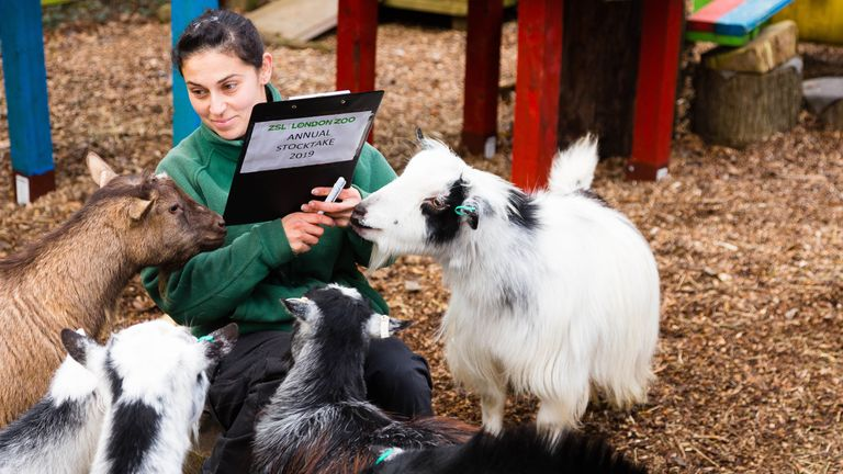 Veronica Heldt counts the pygmy goats