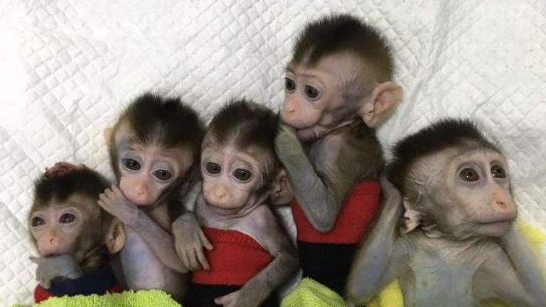 The five macaques were cloned then gene-edited to show symptoms of mental illness. Pic: Institute of Neuroscience, Chinese Academy of Sciences