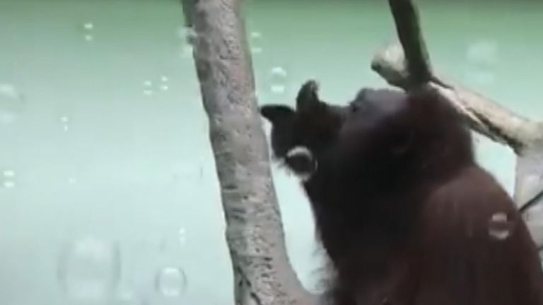 Orangutan enjoys bubbles.