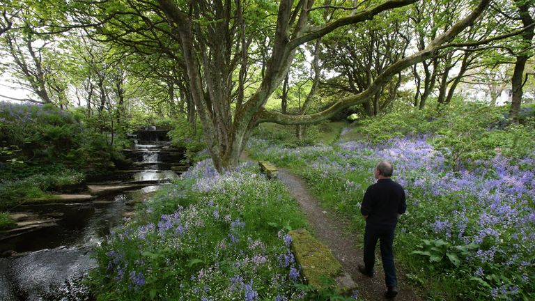 A man walks through the bluebells covered grounds of Woodwick House in Orkney