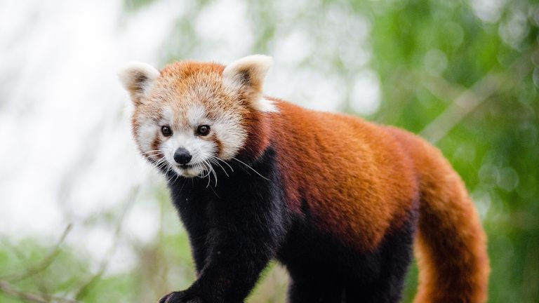 Red panda. File pic