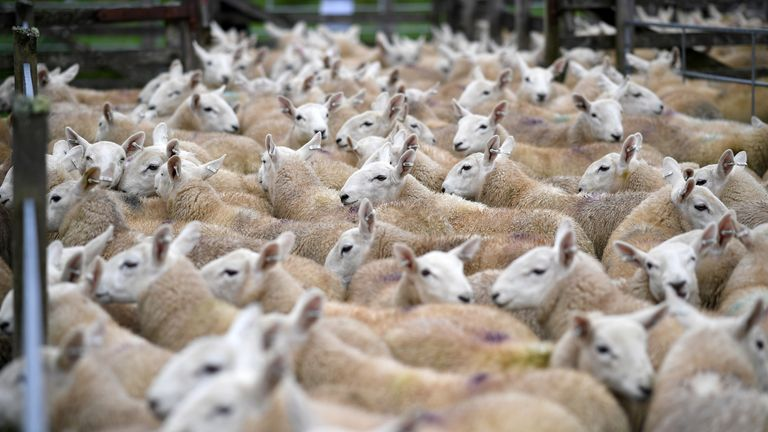 The sheep were taken from a field. File pic