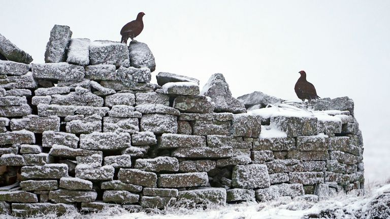 Grouse on a wall in Nenthead in Cumbria after a dusting of snow