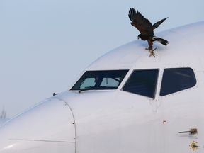 Harris Hawk lands on an airplane near Belgrade's Nikola Tesla Airport