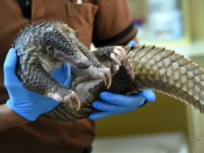 Police found 61 live pangolins in the raid
