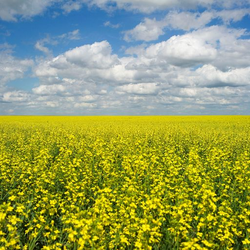 China holding Canadian rapeseed imports ransom over Huawei arrest, say importers