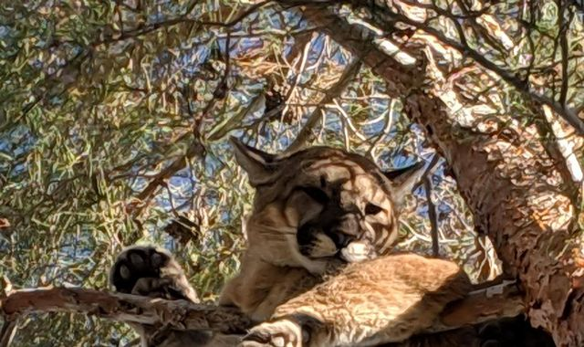 Firefighters in California rescue a mountain lion stuck in a tree
