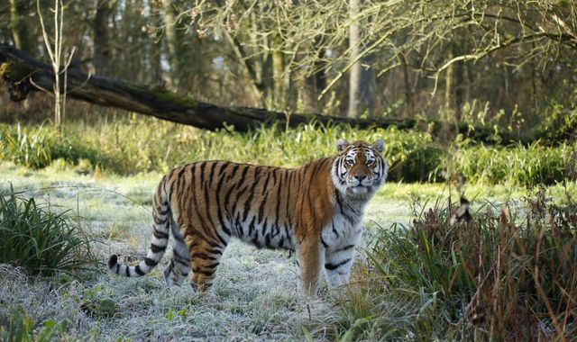 Endangered tiger mauled to death by two others at Longleat Safari park