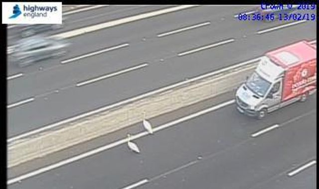 Should have used the flyover: Swans hold up rush-hour traffic on M3