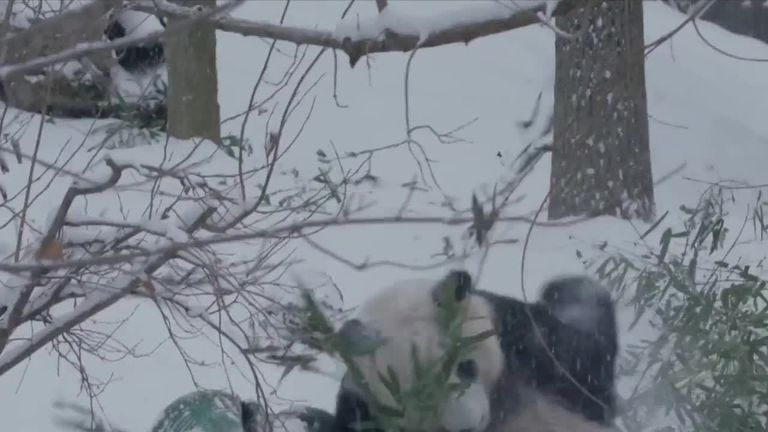 The giant pandas at the Smithsonian National Zoo took advantage of the chilly conditions hitting the Washington, DC, area on February 20, to tumble about in the snow.