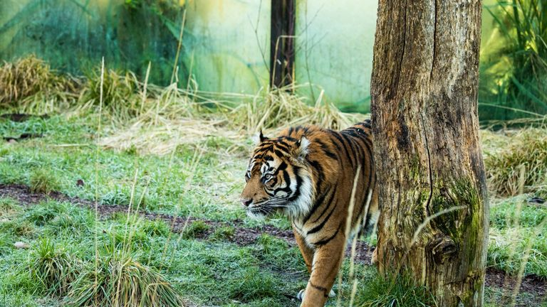 Asim, seven, came to ZSL London Zoo from Denmark last month. Pic: ZSL London Zoo