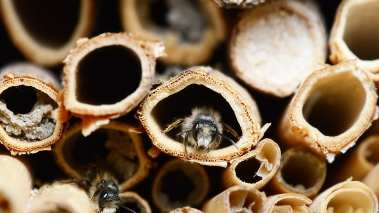 Bees are among the most affected by declining populations