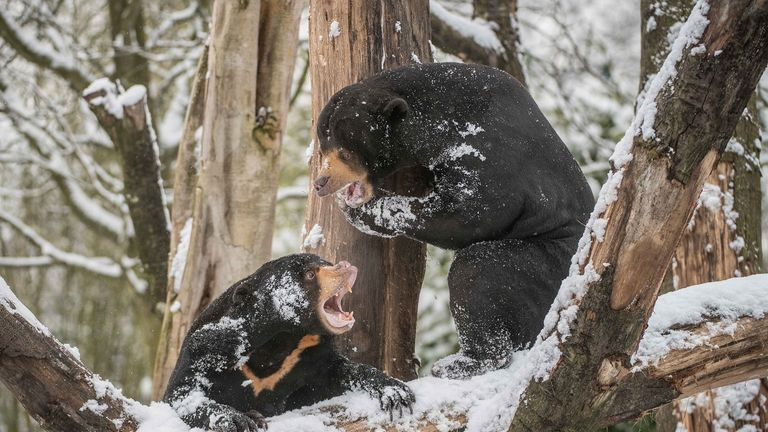 Milli and Tony play in the snow in Chester Zoo in February last year