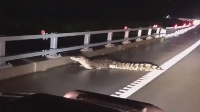 Crocodile in the road. Pic: 9 News
