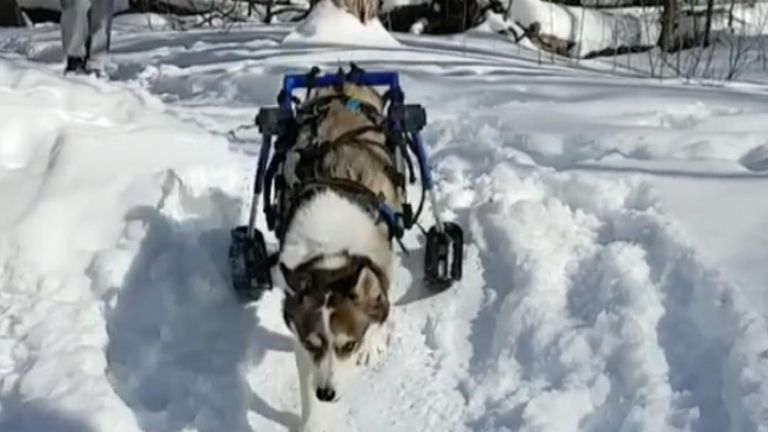 Skis enable paralysed dog to go for walks