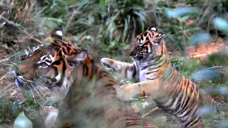 File photo dated 01/09/16 of Melati, London Zoo's female Sumatran tiger, playing with one of her two cubs in the zoo's Tiger Territory enclosure. The female Sumatran tiger has been killed by her potential new mate on their first introduction. Melati, 10, was mauled to death by Asim, seven, when keepers allowed the pair to meet for the first time