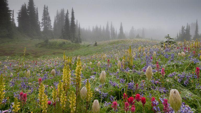 Wildflower Landscapes winner: Mount Rainier in the Mist, by Robert Gibbons, Mount Rainier National Park, Washington, USA