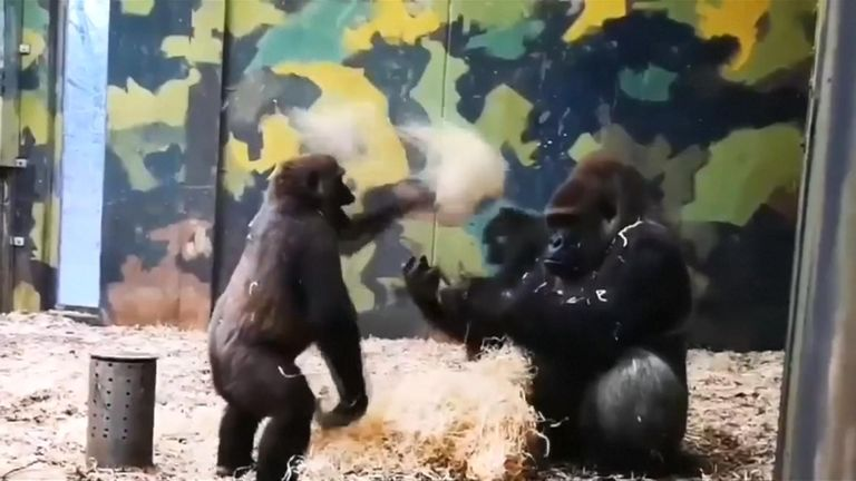Gorilla tries to play with older brother