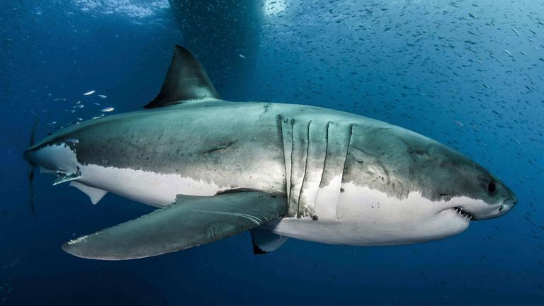 Great white sharks have 'evolved numerous molecular changes in genes linked to DNA-repair and damage tolerance'