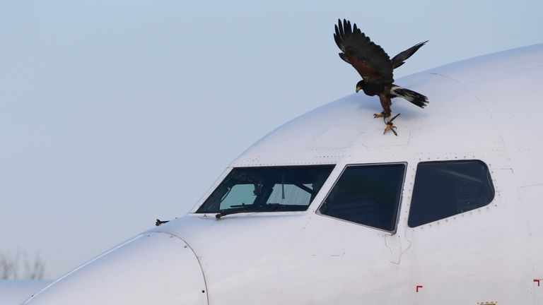 Harris Hawk lands on an airplane near Belgrade's Nikola Tesla Airport