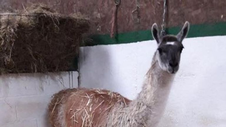 Larry the llama shot dead by 'heartless' poachers at Northumberland