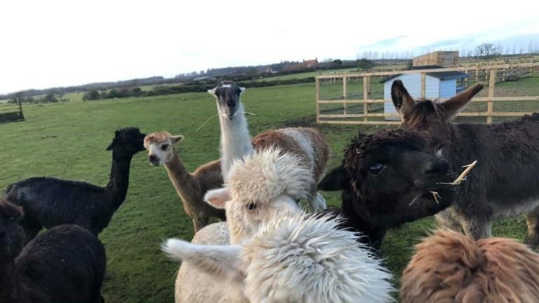 llamas at the Hilltop Farm Animal Sanctuary