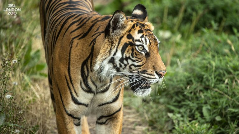 The zoo says it is 'heartbroken' following Melati's death. Pic: ZSL London Zoo