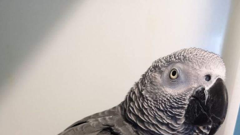 The African Grey parrot recognised its owner's Slovakian voice on an audio clip. Pics: Dublin Airport