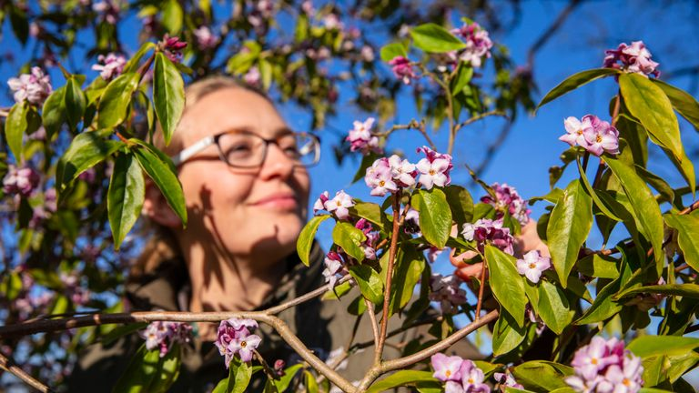 Claire Rady, horticulturalist at RHS Wisley, admire the fragrant Daphne Bholua 'Limpsfield' flowers