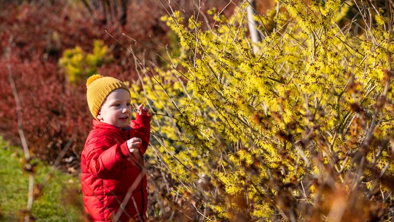 Gabriel Stagg, two, looks at the blooming witch hazel at RHS Wisley