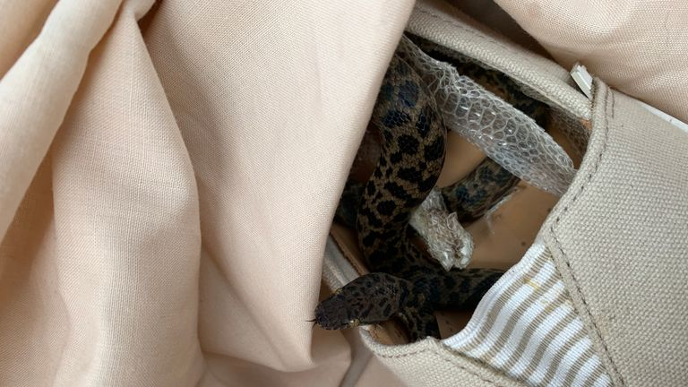 The reptile was found curled up in a shoe after the 9,000 mile flight. Pic: SPCA