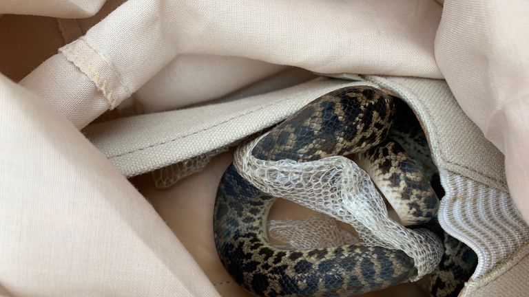 The snake has been identified as a non-venomous spotted python. Pic: SPCA