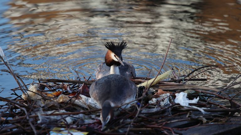 A pair of great crested grebes mating on a nest partially built from discarded litter, on the South Quay of the Isle of Dogs
