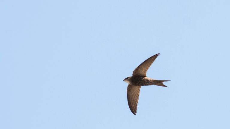 Swift action urged to help Britain's beloved birds