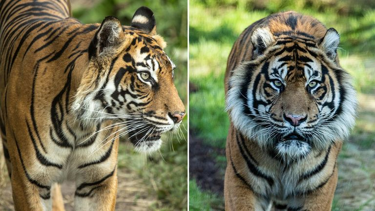 Melati (L), a female Sumatran tiger, was attacked by new arrival Asim (R). Pics: ZSL London Zoo