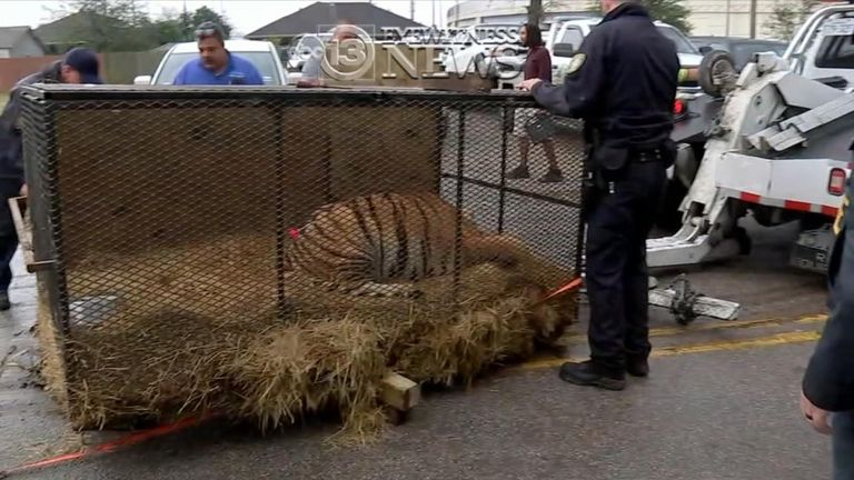 The tiger was taken to an appropriate shelter. Pic: ABC News