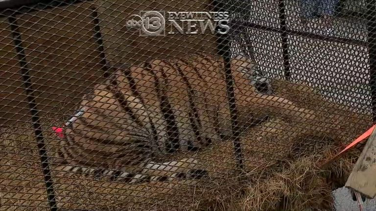 An overweight tiger was found in a small cage in Texas. Pic: ABC News