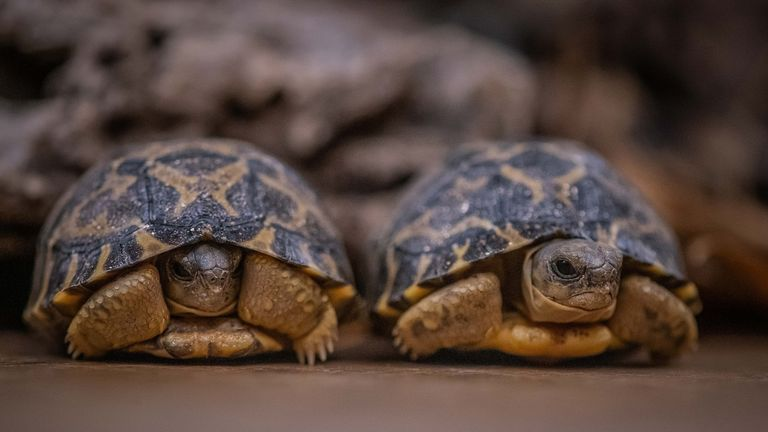 18m radiated tortoises have been lost from Madagascar in 30 years. Pic: Chester Zoo
