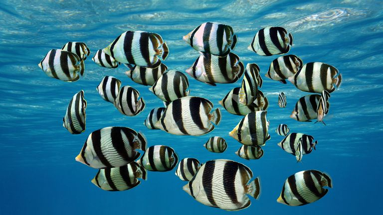 Shoal of tropical fish butterflyfish in the sunlight zone