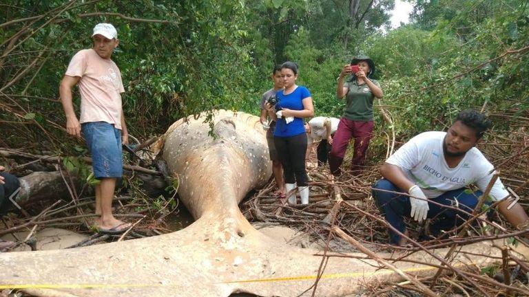 The dead humpback was eight metres long. Pic: bicho_dagua