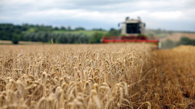 STAFFORD, UNITED KINGDOM - AUGUST 09: A combine harvester gathers wheat in fields at the start of harvesting on August 9, 2010 in Chebsey near Stafford, United Kingdom. Wheat prices have risen 25% in the last seven days due to drought and grass fires across much of Europe and beyond. Russia has banned the export of grain as it tries to preserve stocks. (Photo by Christopher Furlong/Getty Images)