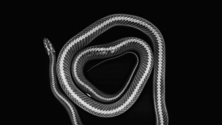 Cornelius - corn snake (Pantherophis guttatus)