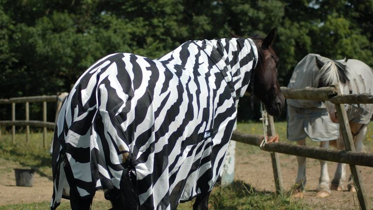 Researchers put a zebra stripe coat on a horse to compare the impact on insects trying to land on the animals