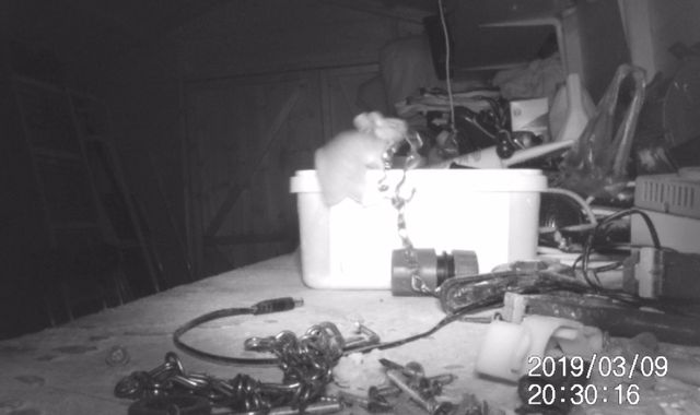Mouse proud: Rodent seen tidying up tools in garden shed in South Gloucestershire